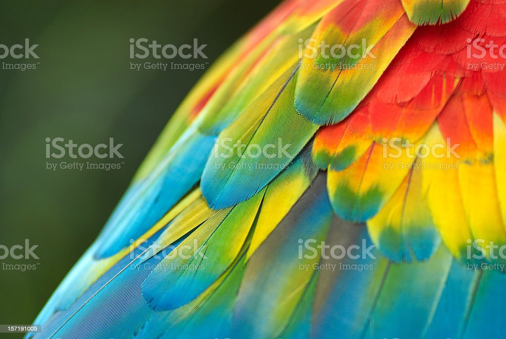 Parrot Feathers stock photo
