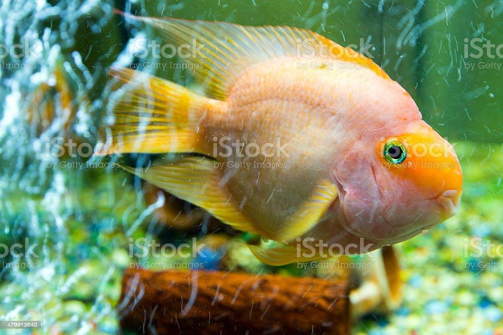 Parrot fish among air bubbles, close-up stock photo