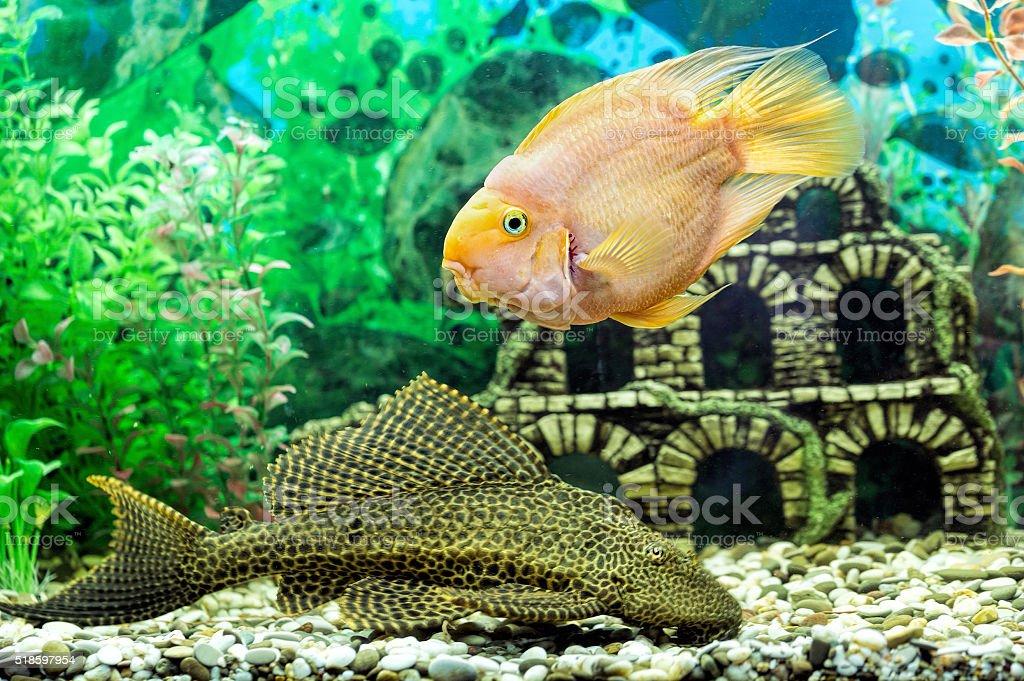 Parrot fish and catfish Pterygoplichthys closeup stock photo