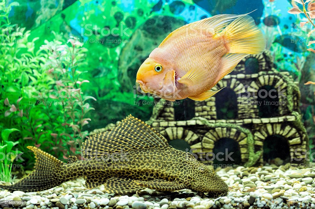 Parrot fish and catfish Pterygoplichthys closeup stock photo