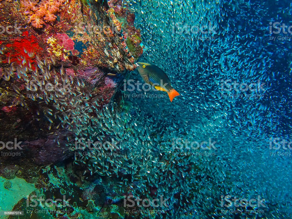 Parrot fish and coral reef in Similan Island stock photo