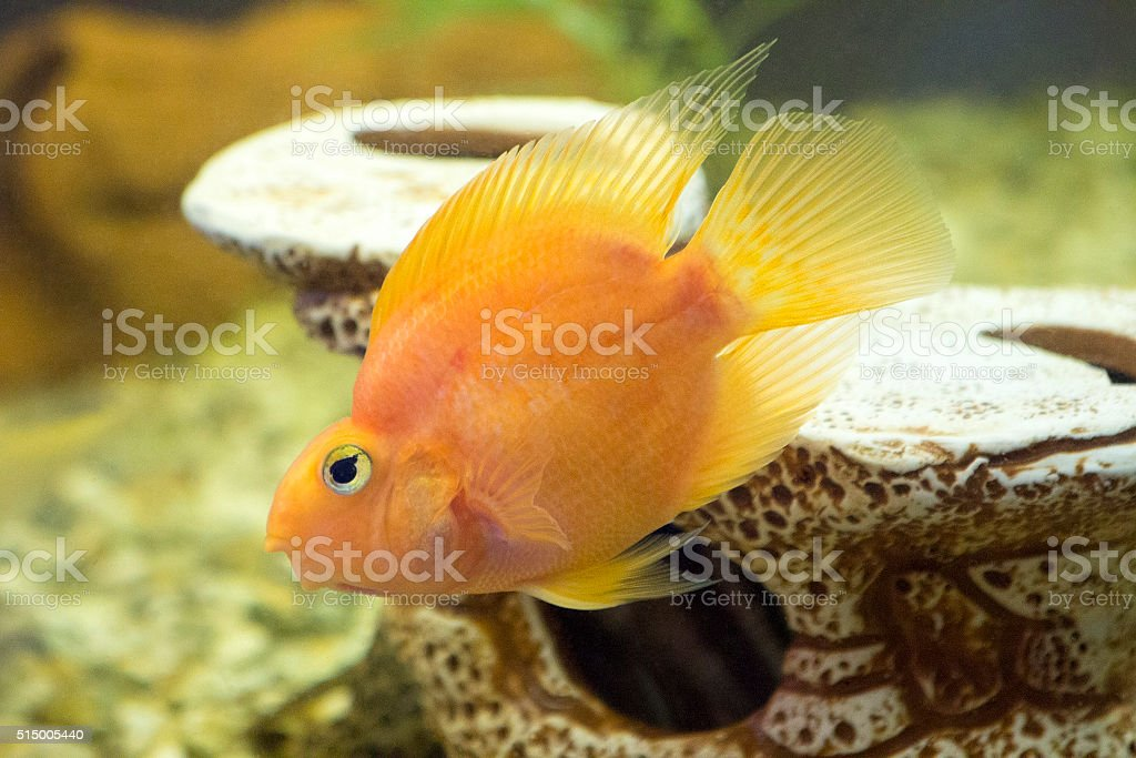 Parrot Fish. Aquarium fish stock photo