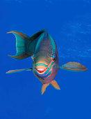 Parrot Fish Head Shot