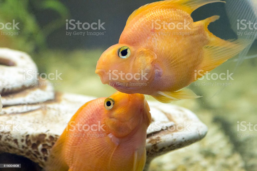 Parrot Fish. Kiss Fish stock photo
