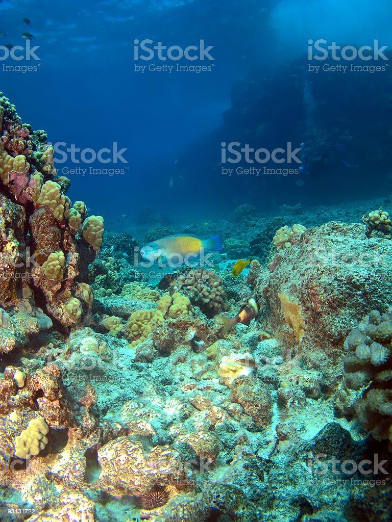 Parrot Fish on a Hawaiian Reef royalty-free stock photo