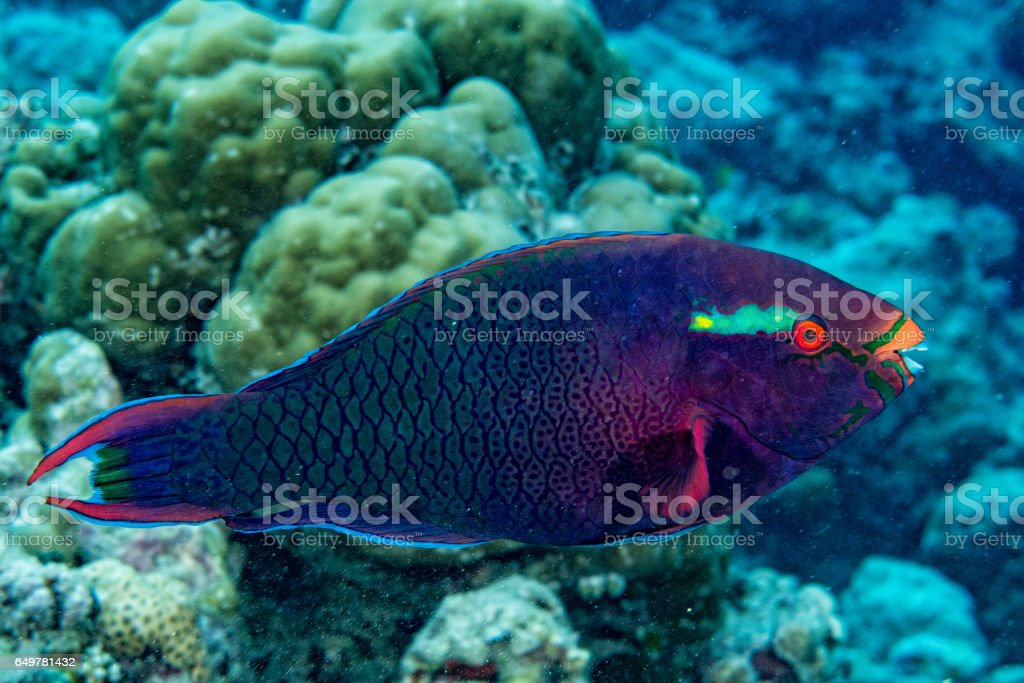 parrot fish portrait in maldives stock photo