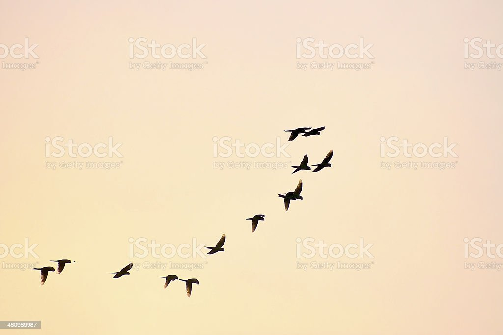 Parrot Flyby At Dusk stock photo