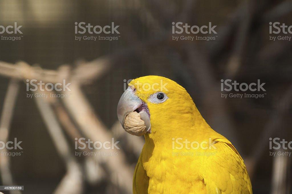 parrot guarouba stock photo