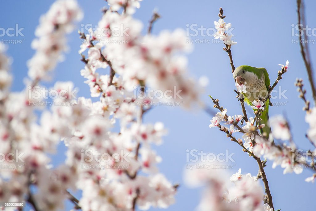 Parrot in a cherry tree full of flowers stock photo
