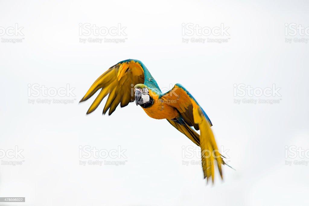 Parrot in flight stock photo