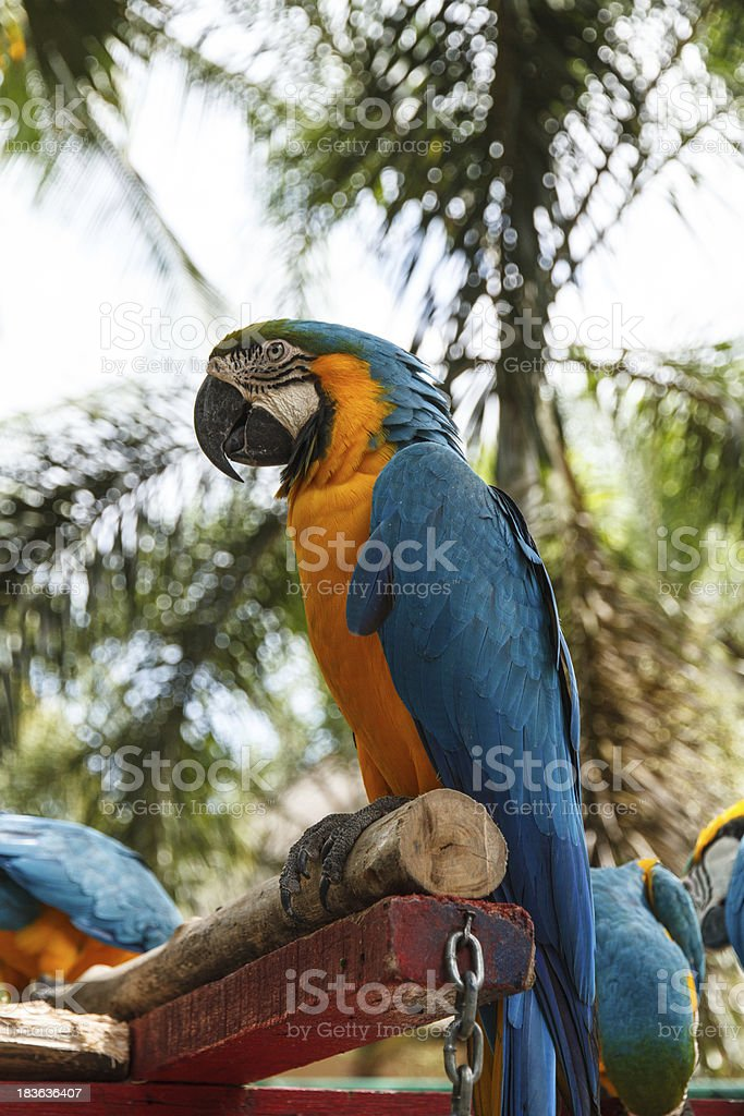 Parrot macaw royalty-free stock photo