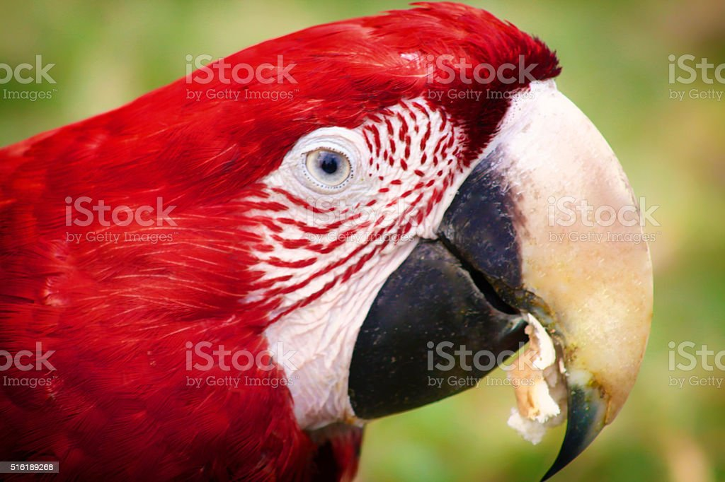 Parrot of profile stock photo