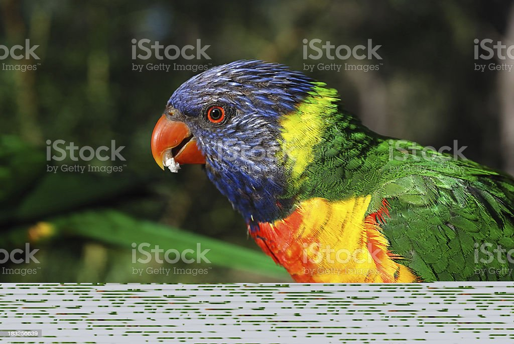 A parrot on a spruce tree branch stock photo