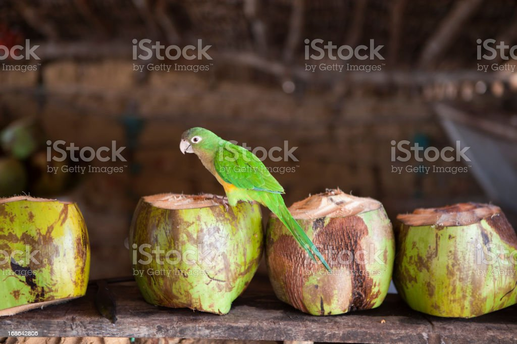 Parrot on Coconuts stock photo