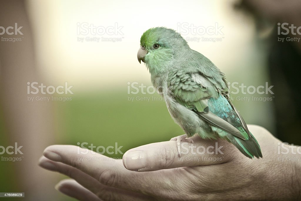Parrot on hand stock photo