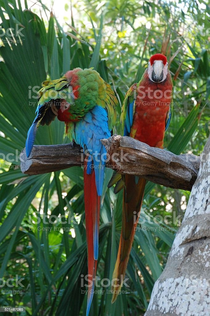 Parrot Pair royalty-free stock photo