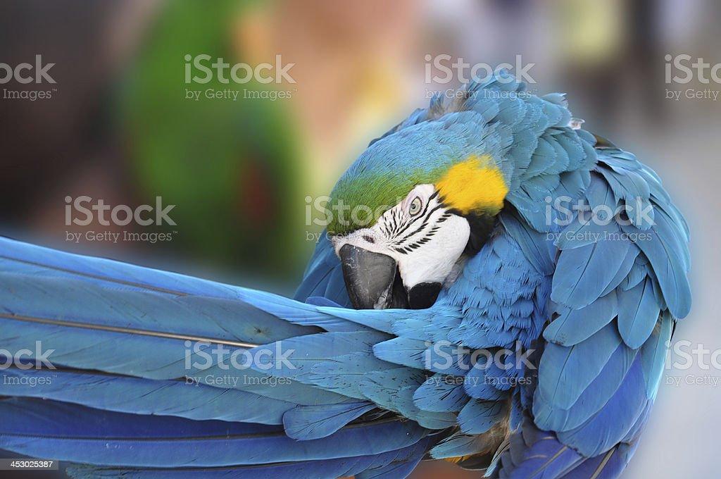 Parrot photo libre de droits
