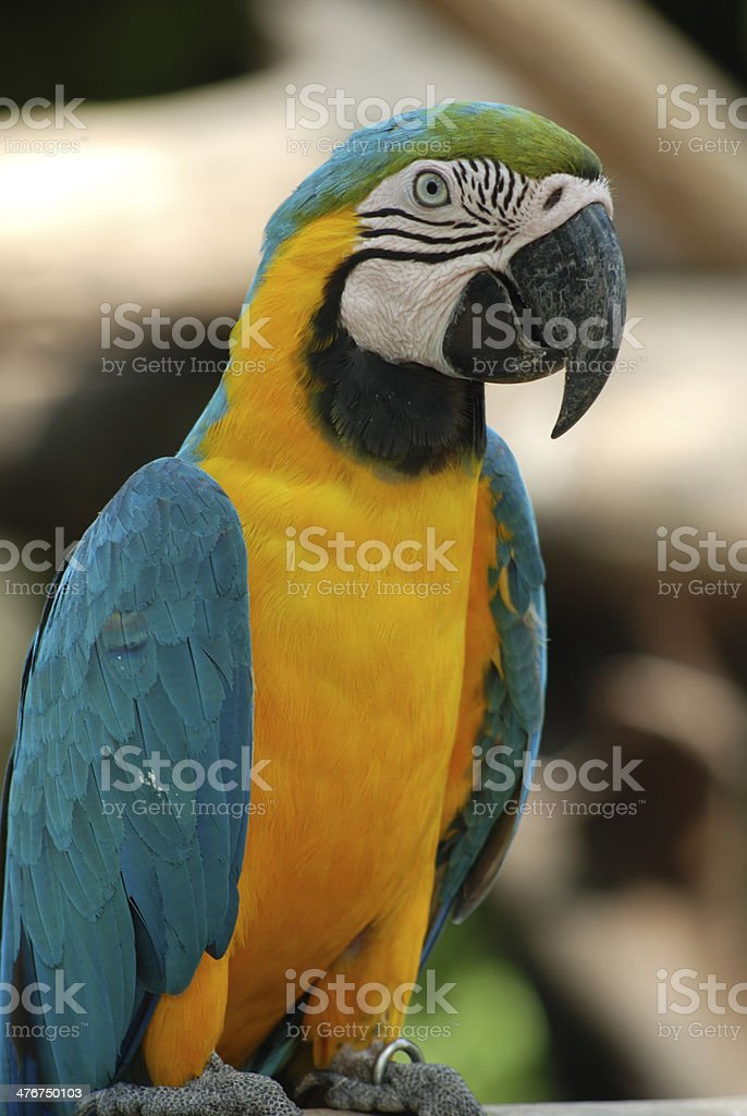 Parrot. royalty-free stock photo