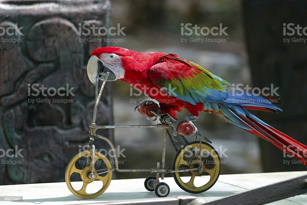 Parrot Playing with Bicycle stock photo