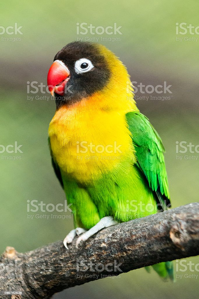 Parrot portrait - lovebird stock photo