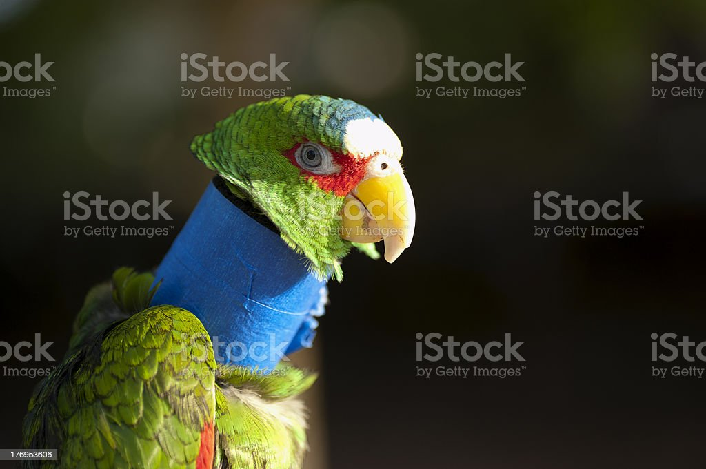 parrot recuperating from a neck injury stock photo