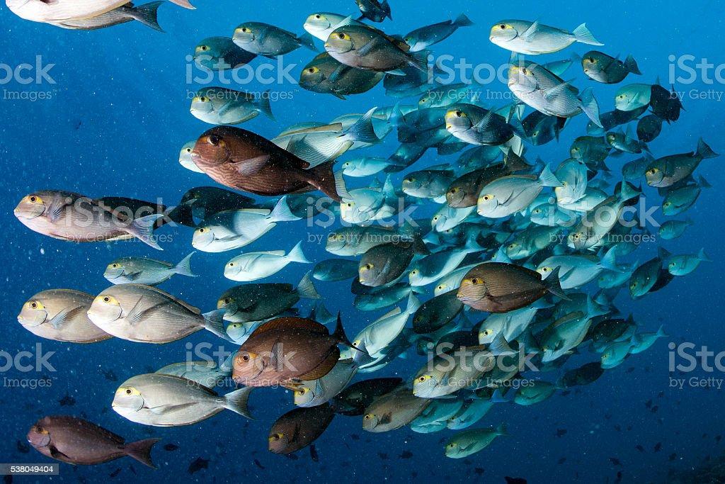 parrot school of fish portrait in maldives stock photo