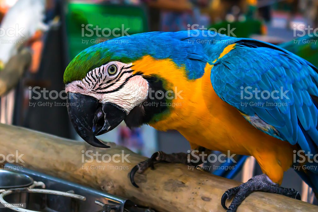 parrot sits on a perch in the garden stock photo