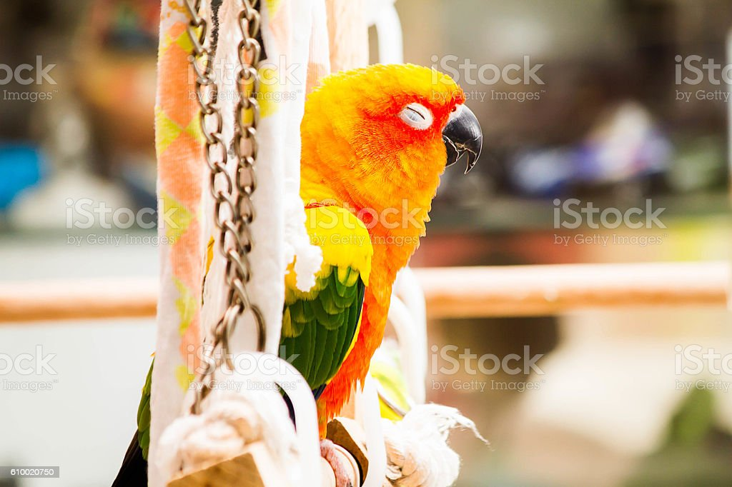 Parrot, sun conure, sleeping on the perch in the house stock photo
