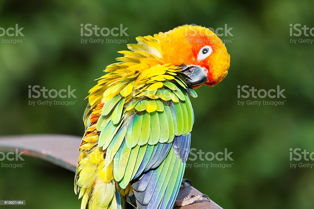 Parrot, sun conure, standing playing on the fence happily stock photo