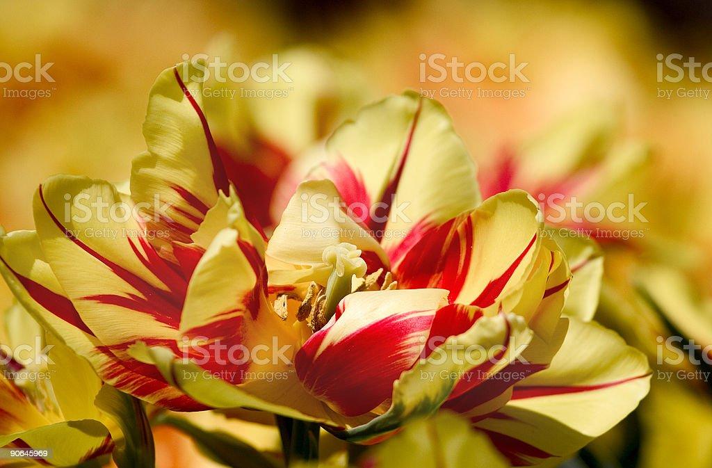 parrot tulip royalty-free stock photo