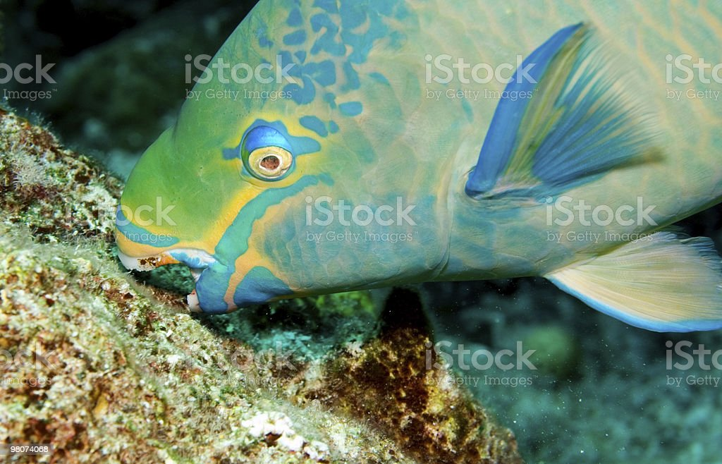 Parrotfish eating coral algae stock photo