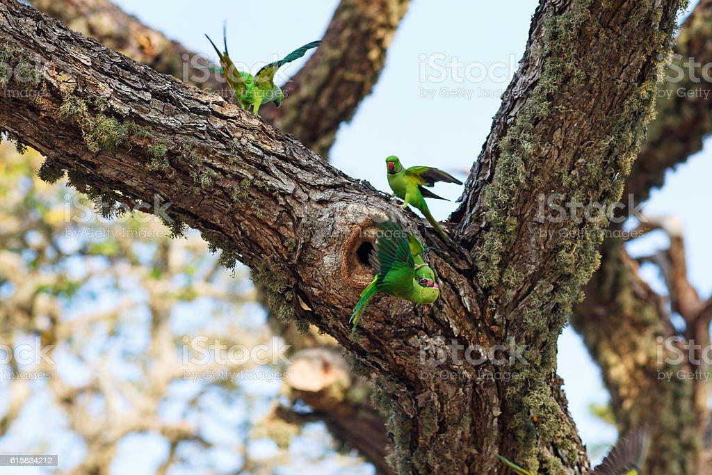 Parrots fighting over nest on the tree, Sri Lanka stock photo