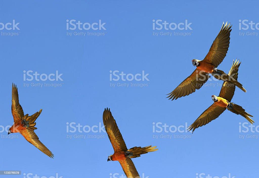Parrots in flight stock photo