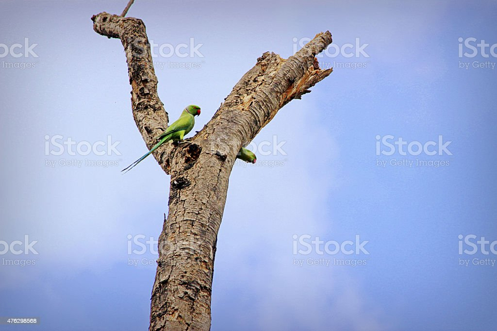 Parrots in Love stock photo