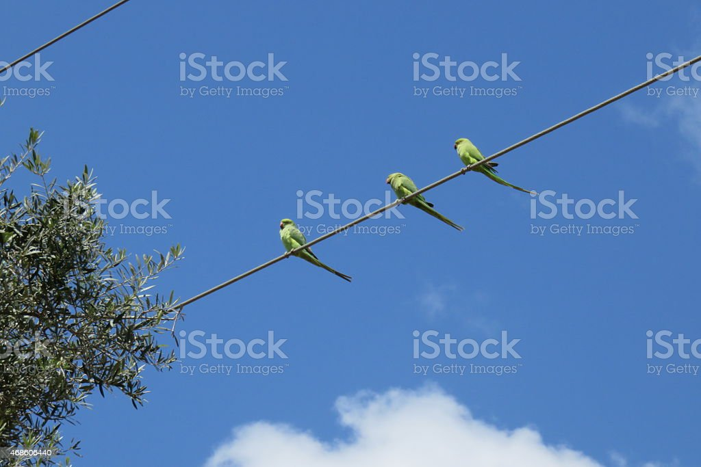 parrots on  power cable stock photo