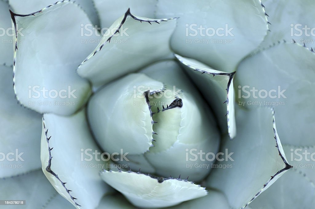 Parry Agave stock photo