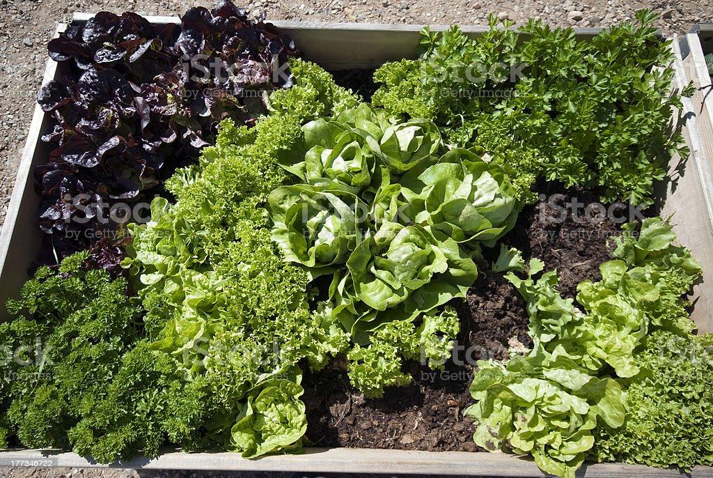 Parsley and salad royalty-free stock photo