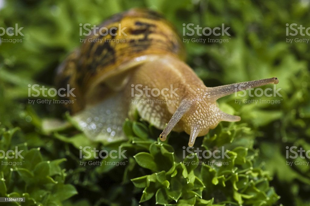 Parsley and snail royalty-free stock photo