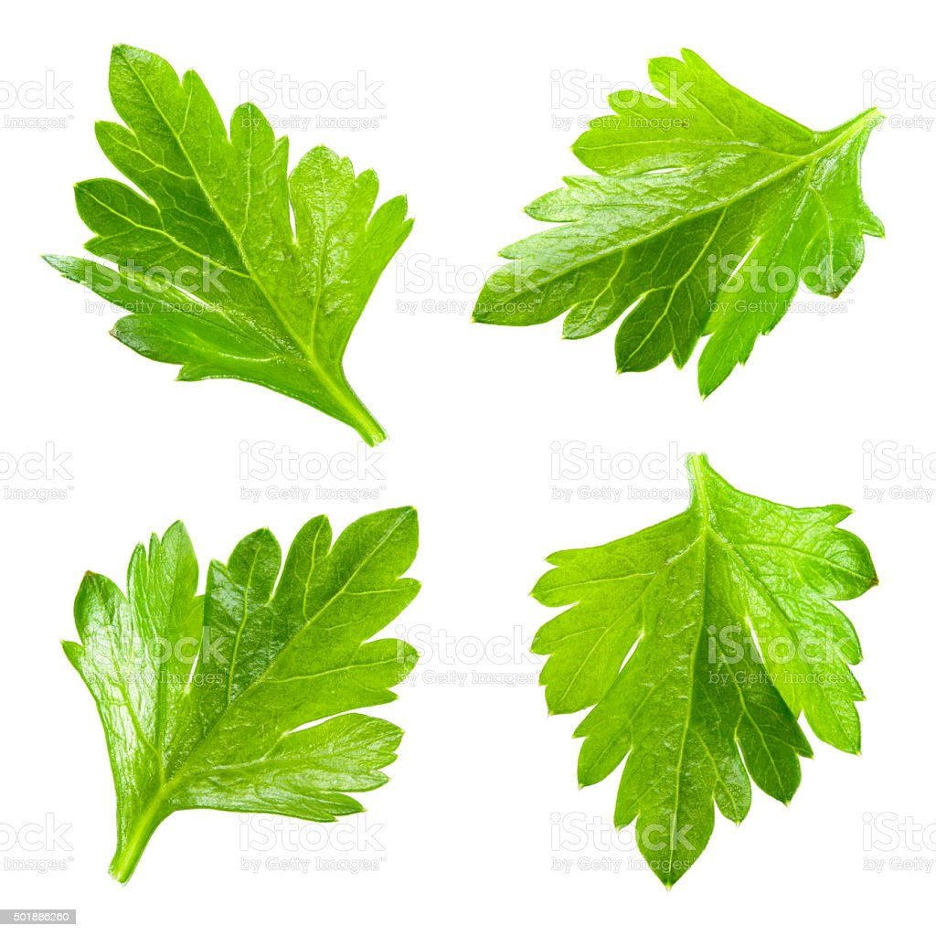 Parsley. Collection of leaves isolated on white. stock photo