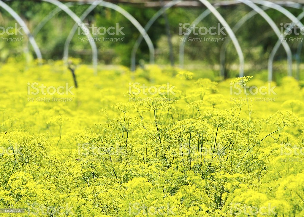 Parsley flower field royalty-free stock photo