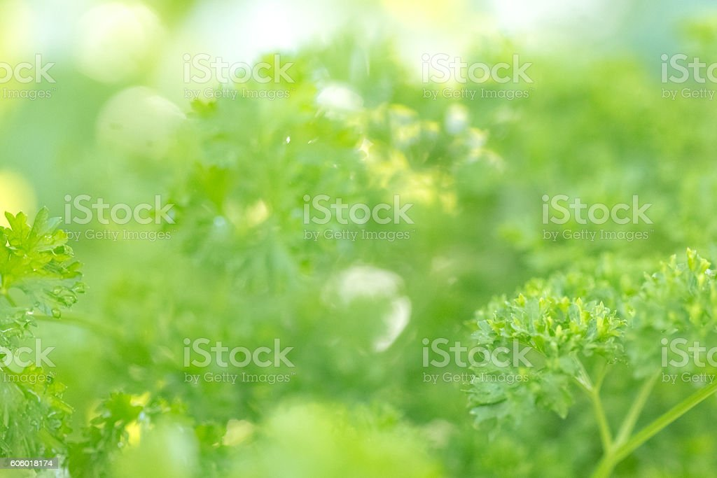 Parsley Growing In Herb Garden stock photo