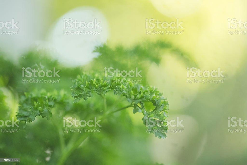 Parsley Growing In Herb Garden stock photo