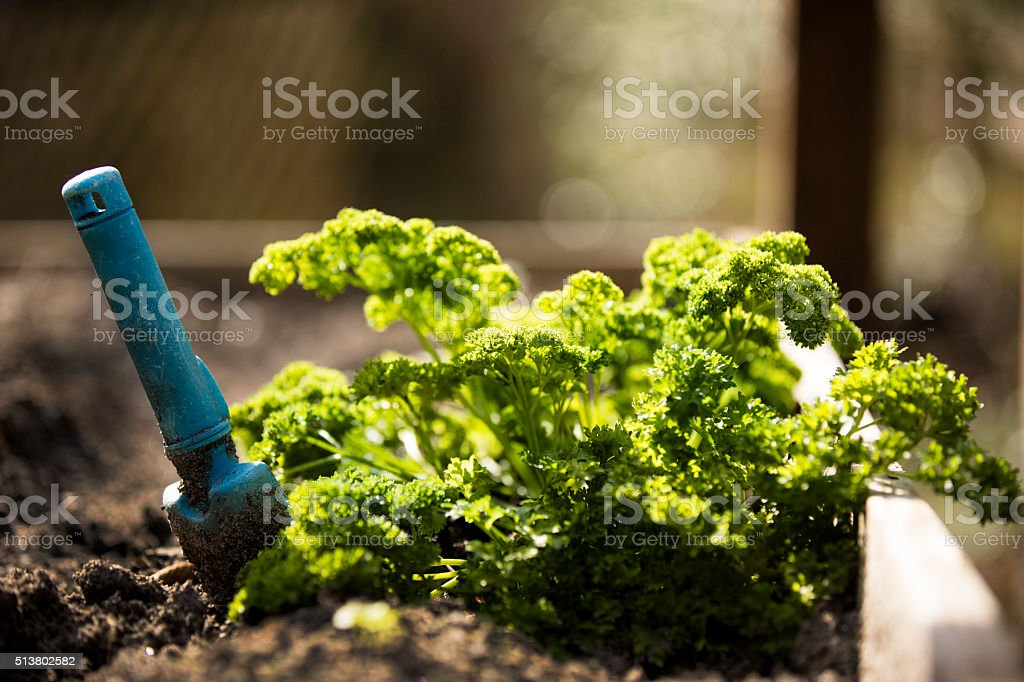 Parsley growing in home herb garden. Vegetables. Healthy living. stock photo