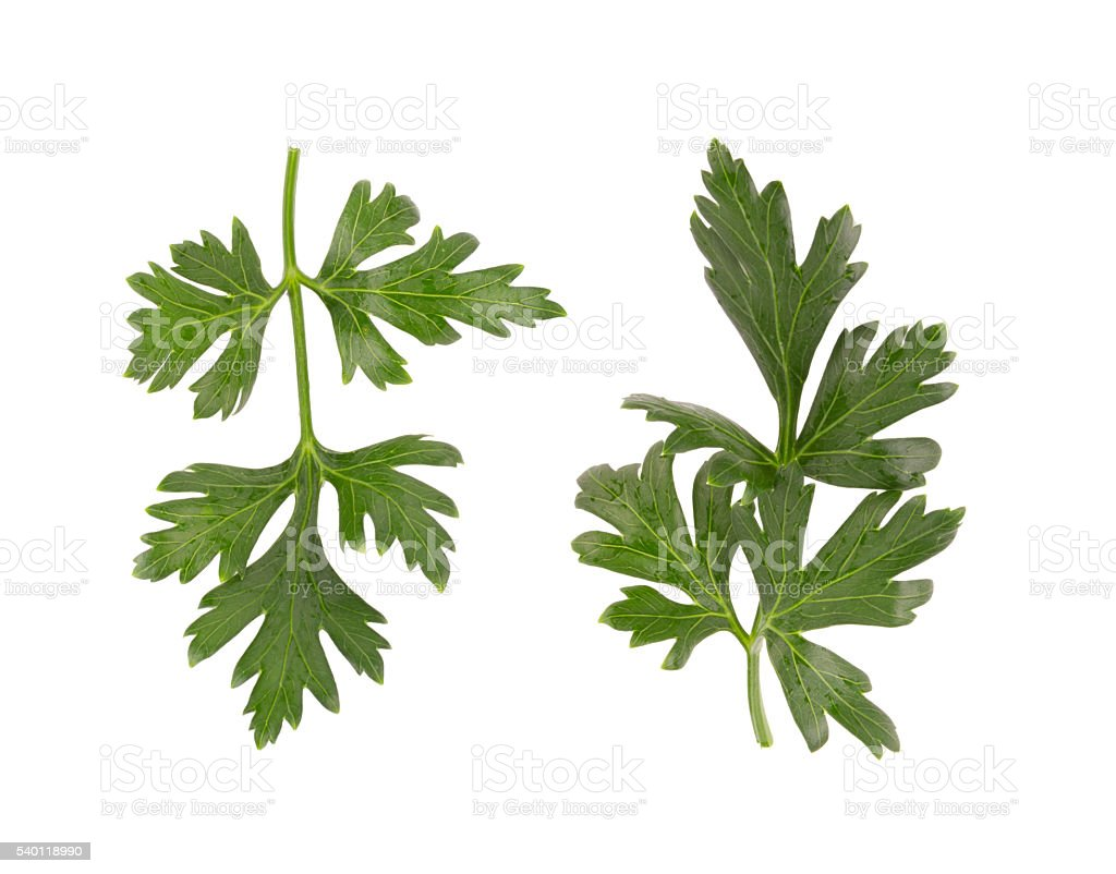 Parsley herb isolated on white background stock photo