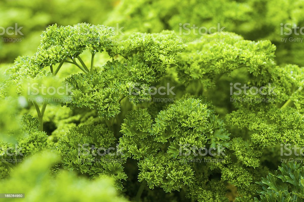 Parsley (Petroselinum crispum) in a garden bed stock photo