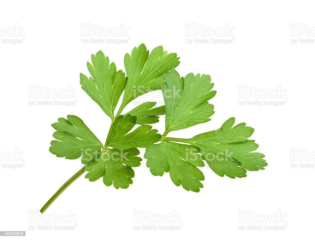 parsley isolated stock photo