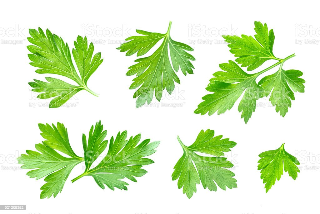 Parsley leaf isolated on white. Closeup stock photo
