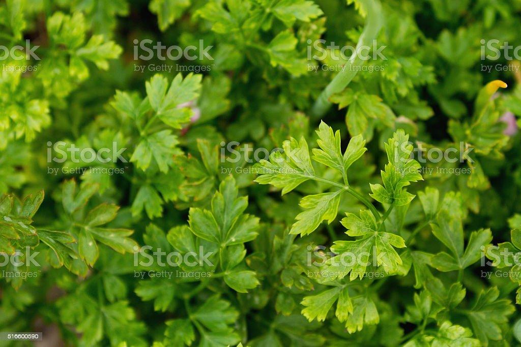 Parsley, leaves, background stock photo
