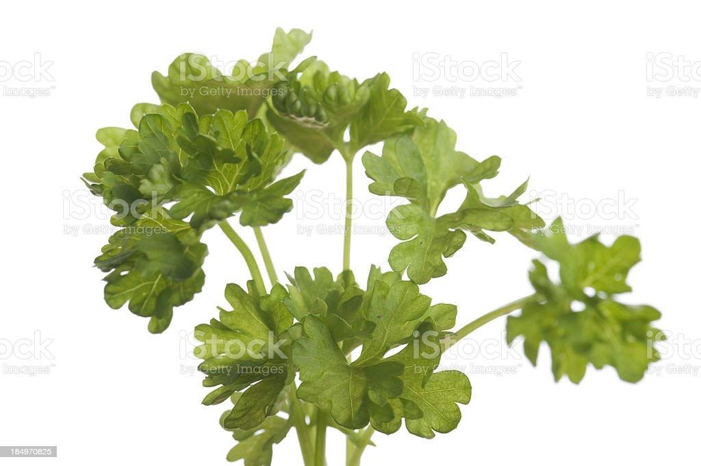 Parsley, petroselinum crispum stock photo