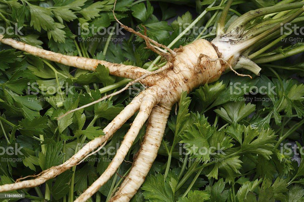 Parsley root royalty-free stock photo
